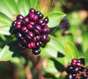 Tasmanian Pepperberry